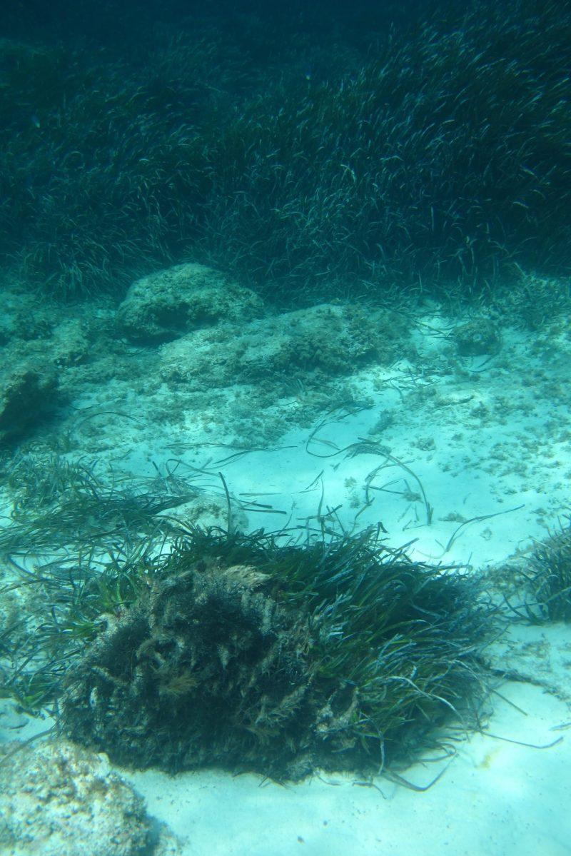 Posionia-oceanica-arrancada