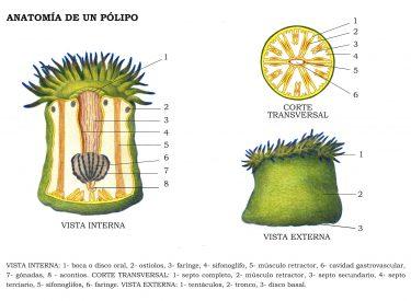 Ilustración anatomía de un pólipo