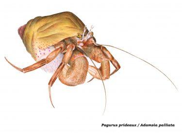 Ilustración cangrejo ermitaño