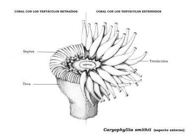Ilustración Coral Taza - extendido y retraído